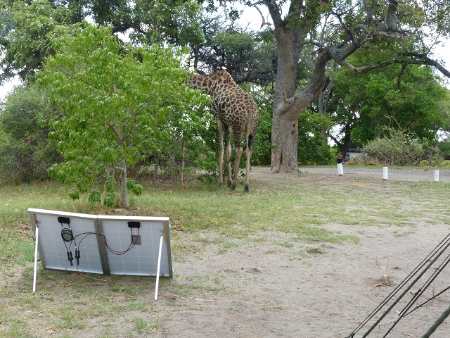 Solar power allowed this giraffe to come up very close to our camp site