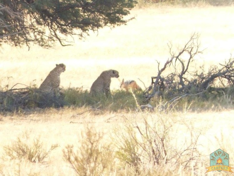 Cheetahs watching over their springbuck lunch